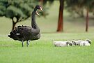 Black Swan Family  by EOS20