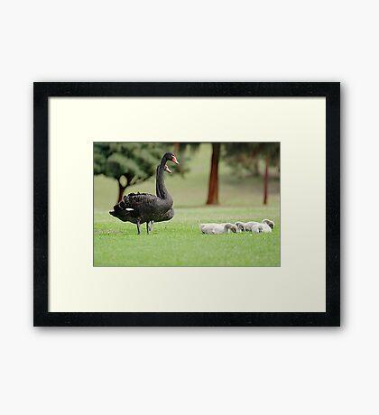 Black Swan Family  Framed Print