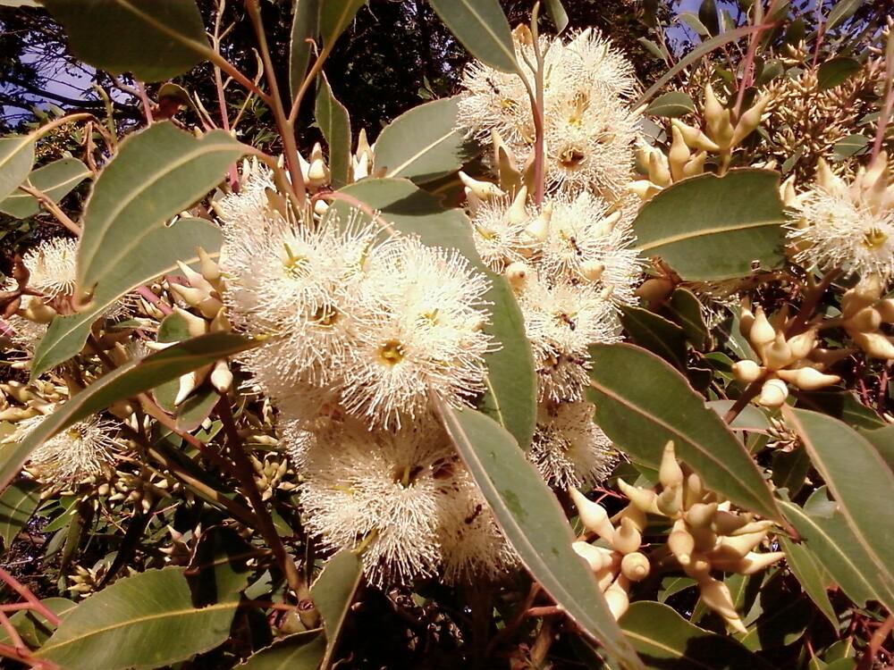 Eucalyptus globulus or Ants heaven by Kerron