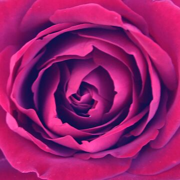 Burgundy Rose by lushmint