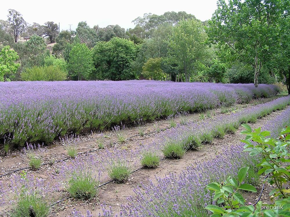 Lavandula Lavender Farm, Daylesford, Victoria, Australia by brendak