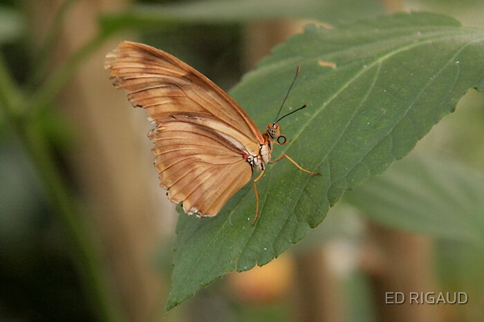 Brown Butterfly by ED RIGAUD