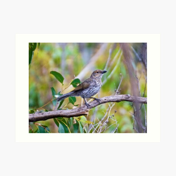 SHRIKETHRUSH ~ Grey Shrikethrush by David Irwin Art Print