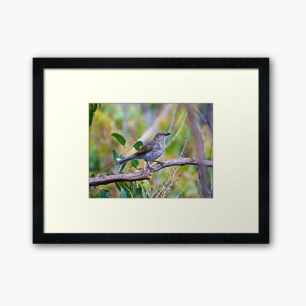 SHRIKETHRUSH ~ Grey Shrikethrush QC3WPKYY by David Irwin Framed Art Print