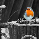 The Robin by Chris Clark