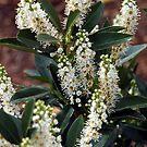 White Flowers by pbaack