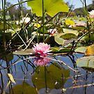 Pink water lily reflection by Wzard