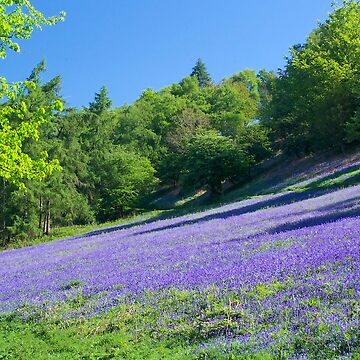 Bluebell wood by pluffy