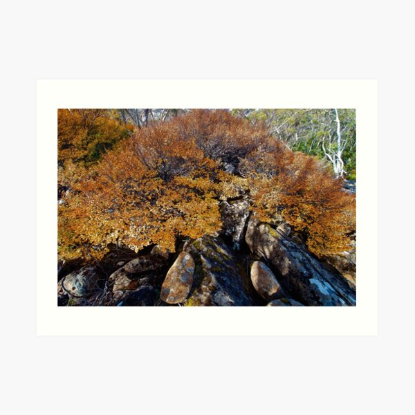FAGUS ~ SCENES & SCENERY ~ Shadows by tasmanianartist Art Print