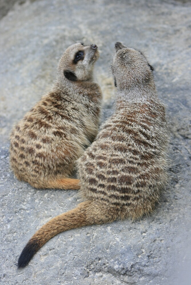 2 meercats by Anon