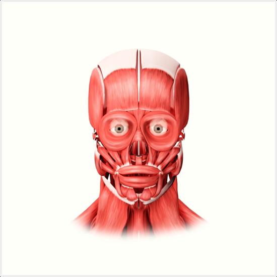 Láminas artísticas «Ilustración médica de los músculos faciales ...
