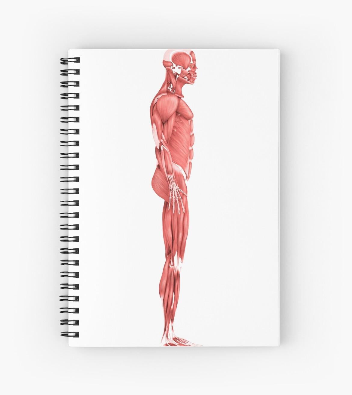 Cuadernos de espiral «Ilustración médica del sistema muscular ...