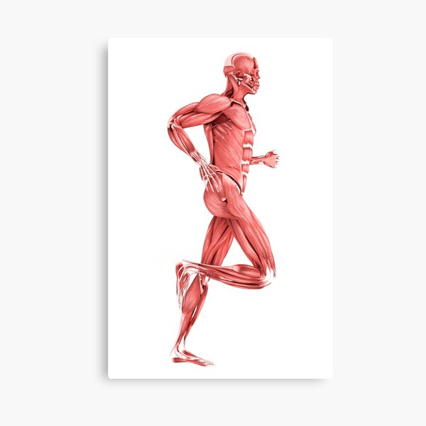 Medical illustration of male muscles running, side view. Canvas Print