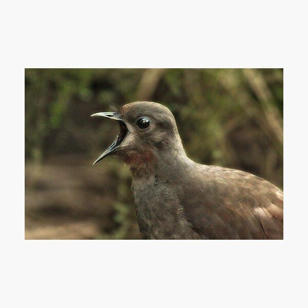 Lyrebird Photographic Print