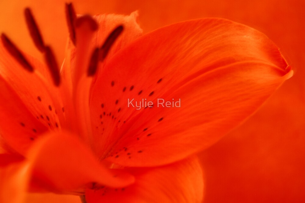 Orange Lilly by Kylie Reid