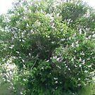 pink lilacs on tree by oilersfan11