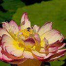 Pink Lotus by Judi Corrigan