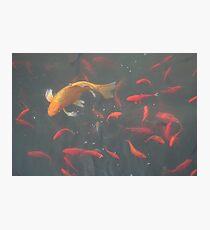 orange goldfish in the water Photographic Print