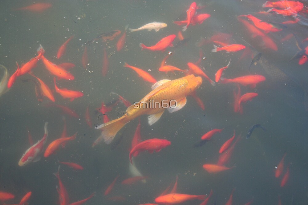 orange goldfish in the water 2007 by smiln60
