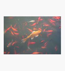 orange goldfish in the water 2007 Photographic Print