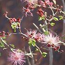 Pink ;Calliandra Eriophylla;Pink Fairyduster; Along Route 10 East towards Arizona by leih2008