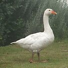 Goosey Lucy by Timmy