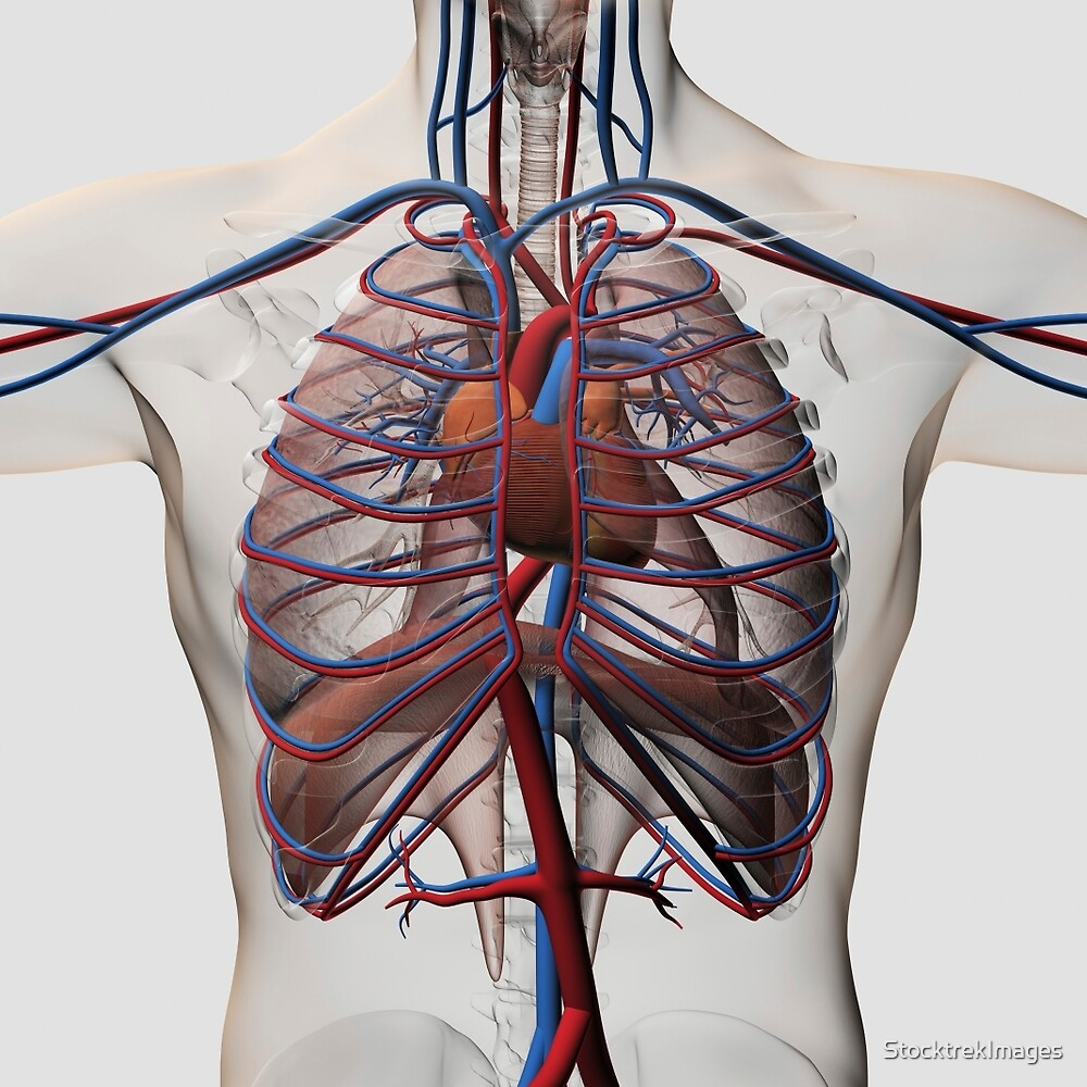 Medical Illustration Of Male Chest With Arteries Veins Heart And