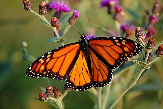 Monarch by Gregg Williams
