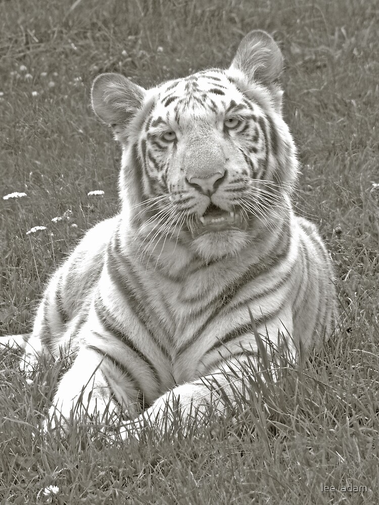 white tiger by lee  adam
