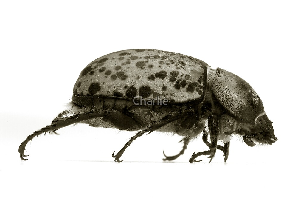 Goliath Beetle by Charlie
