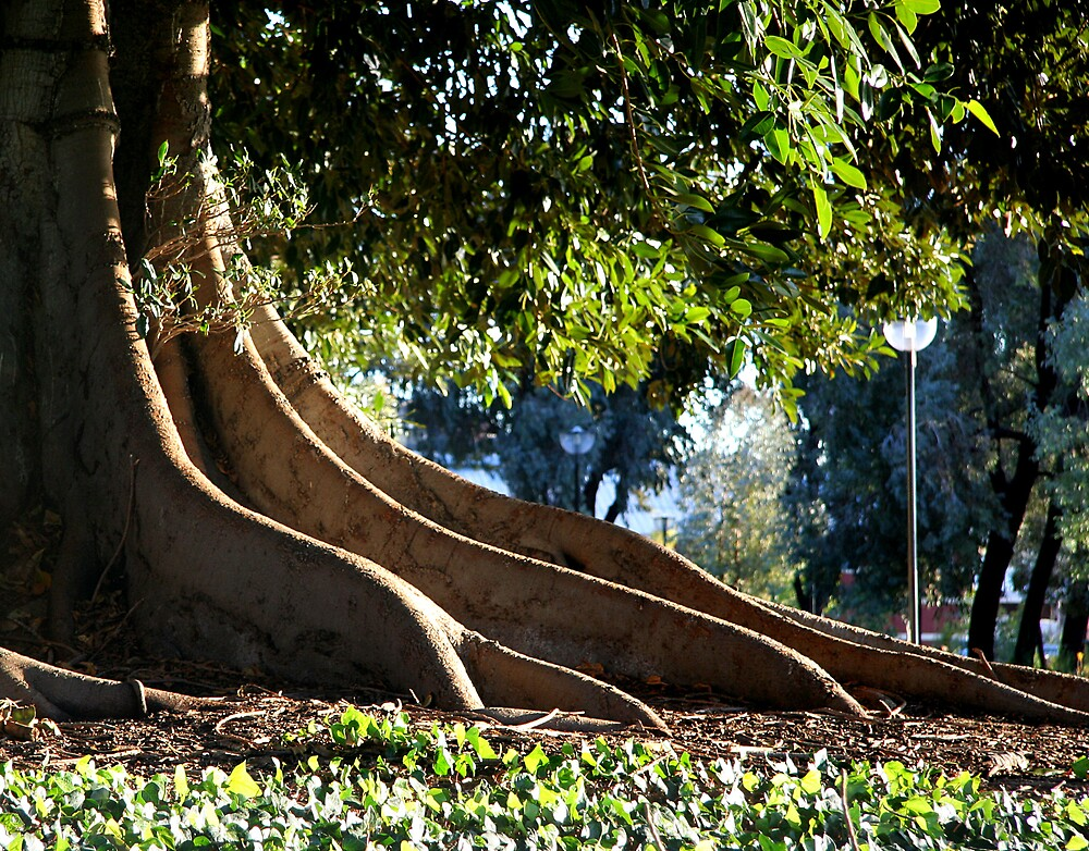 roots of a giant fig tree by Martin Pot