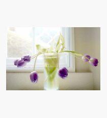 Soft Tulips............. Photographic Print