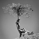 Contorted Pine by vivsworld