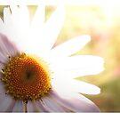 Daisy by Kim Brown