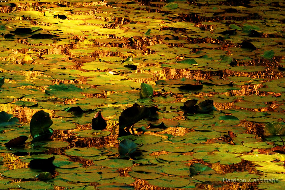 lilly pads by Harrison  Cassimatis