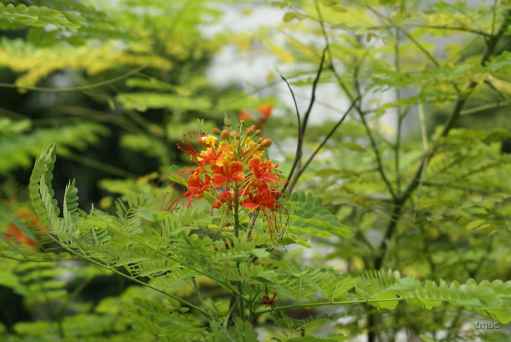 Singapore flower 1 by tmac