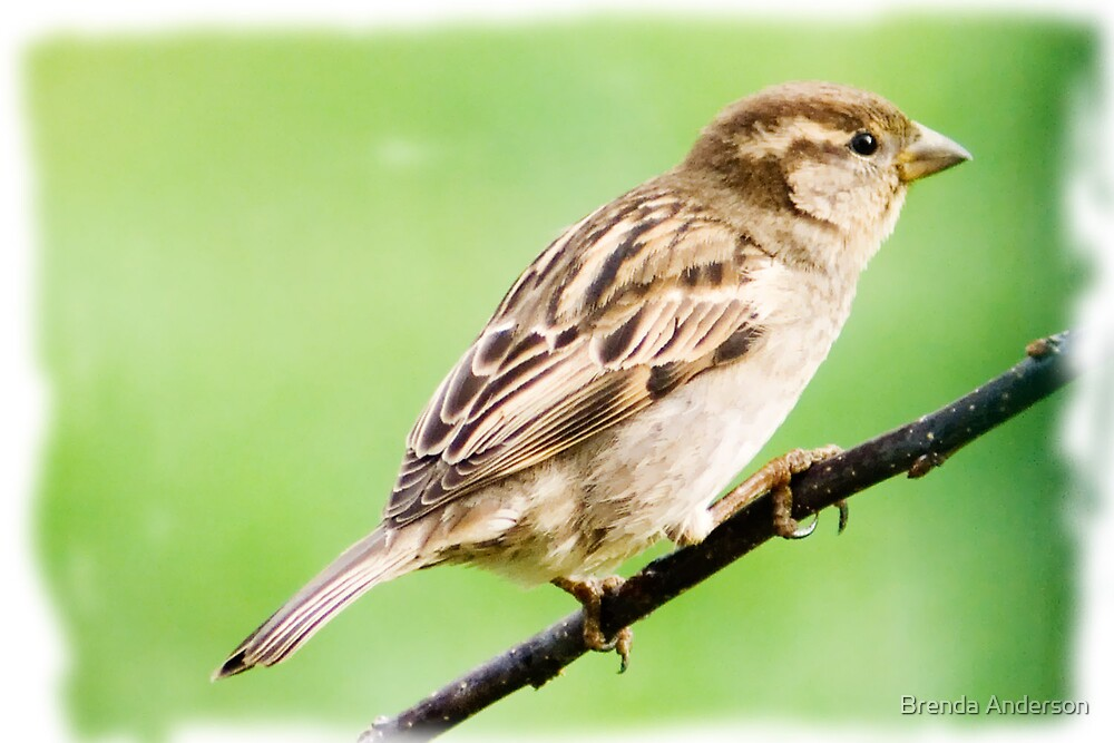 Sparrow on the Crabapple Tree by Brenda Anderson