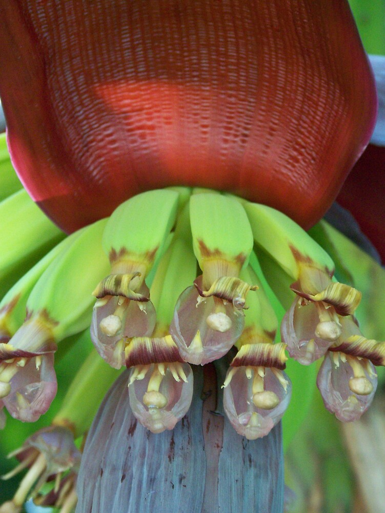 Banana tree Blossom by skurm002