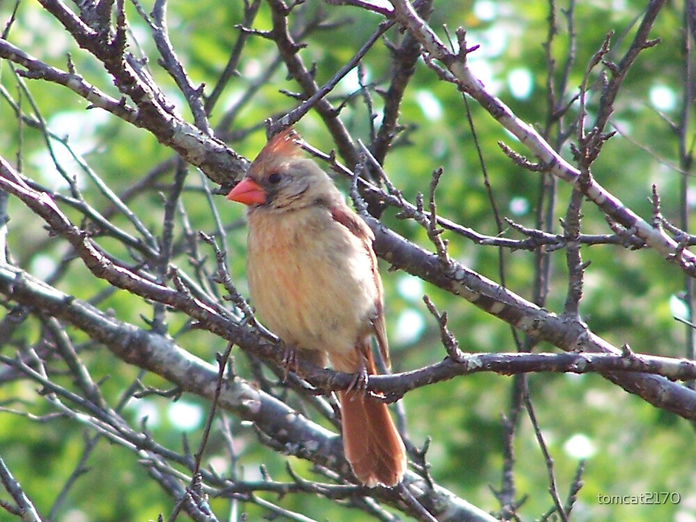female cardinal posing by tomcat2170