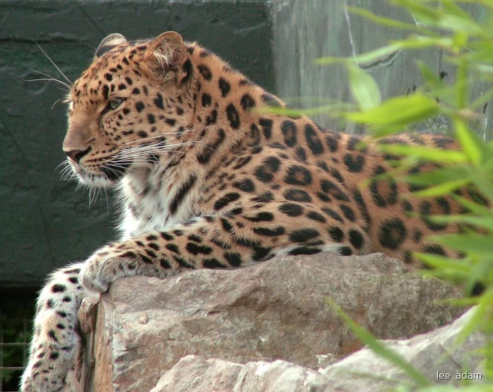 leopard by lee  adam