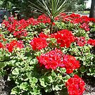 brightly red roses by oilersfan11