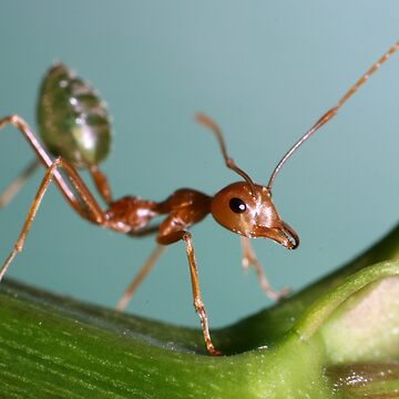 Green Ant by lettuce
