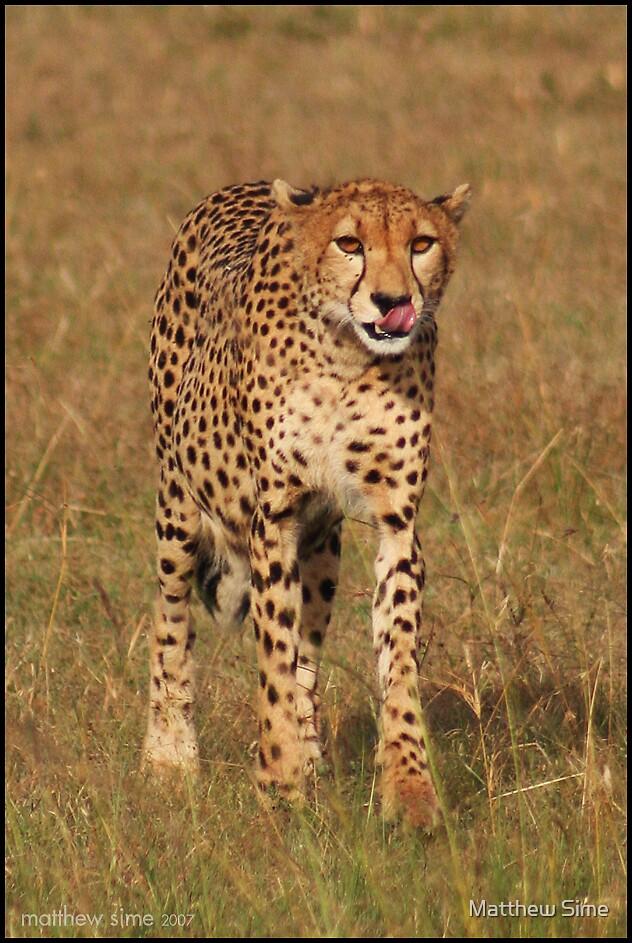 cheetah by Matthew Sime