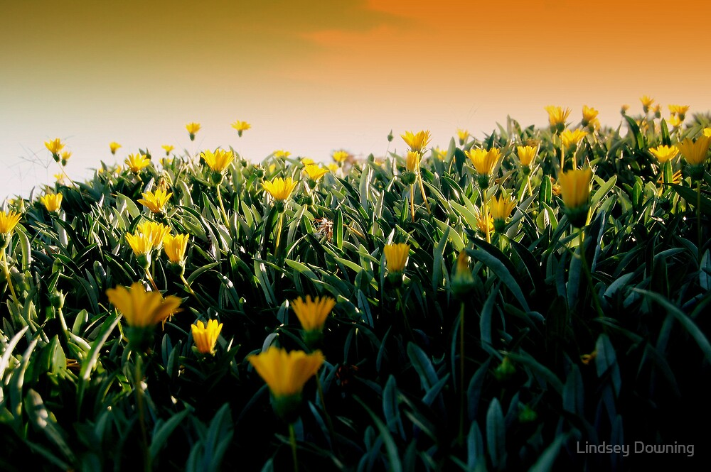 field of flowers by Lindsey Downing