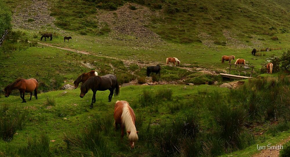 Wild Dartmoor Ponies by Ian Smith