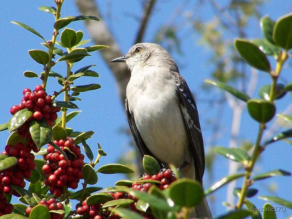 mockingbird by tomcat2170