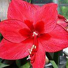 Big Red by Jimettadog