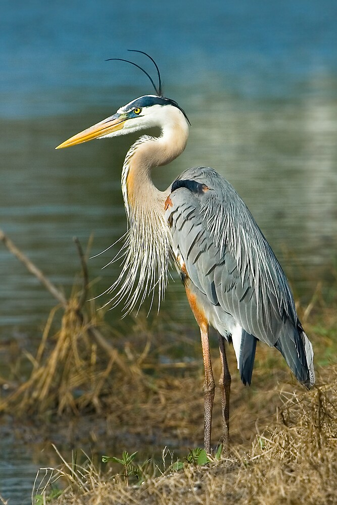 Great Blue Heron  by Delores Knowles