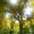 huge yellow trees by oilersfan11