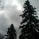 spruce tree with fog by oilersfan11